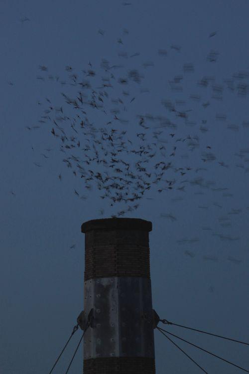 Swifts 1