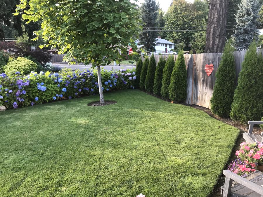 Front yard 2 hydrangeas